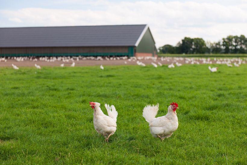 Kuřecí maso plné hormonů aantibiotik: Fáma, nebo reálné nebezpečí?